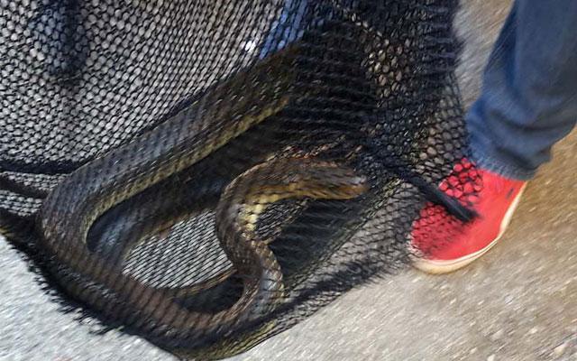 zmija-zupanijska